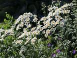 Strauß-Margerite, Tanacetum corymbosum, Topfware
