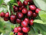 Süßkirsche 'Bianca', Stamm 40-60 cm, 120-160 cm, Prunus 'Bianca', Containerware