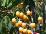 Süßkirsche 'Dönissens Gelbe Knorpelkirsche', Stamm 40-60 cm, 120-160 cm, Prunus avium 'Dönissens Gelbe Knorpelkirsche', Containerware
