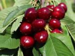 Süßkirsche 'Giorgia', Stamm 40-60 cm, 120-160 cm, Prunus avium 'Giorgia', Containerware