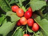 Süßkirsche 'Große Prinzessinkirsche' / 'Napoleon', Stamm 40-60 cm, 120-160 cm, Prunus 'Große Prinzessinkirsche' / 'Napoleon', Wurzelware