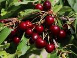 Süßkirsche 'Karina', Stamm 40-60 cm, 120-160 cm, Prunus 'Karina', Wurzelware