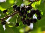 Süßkirsche 'Knauffs Schwarze', Stamm 40-60 cm, 120-160 cm, Prunus 'Knauffs Schwarze', Wurzelware