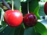Süßkirsche 'Kronprinz zu Hannover', Stamm 40-60 cm, 120-160 cm, Prunus 'Kronprinz zu Hannover', Wurzelware