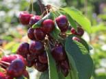 Süßkirsche 'Maibigarreau', Stamm 40-60 cm, 120-160 cm, Prunus 'Maibigarreau', Wurzelware