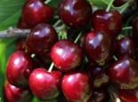 Süßkirsche 'Oktavia', Stamm 40-60 cm, 120-160 cm, Prunus 'Oktavia', Wurzelware