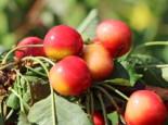 Süßkirsche 'Stardust', Stamm 40-60 cm, 120-160 cm, Prunus 'Stardust', Containerware