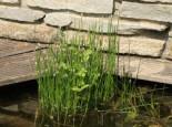 Sumpfsimse, Eleocharis palustris, Topfware