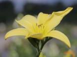 Taglilie 'Atlas', Hemerocallis x cultorum 'Atlas', Topfware