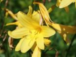 Taglilie 'Corky', Hemerocallis x cultorum 'Corky', Topfware