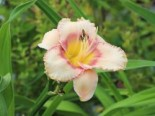 Hemerocallis x cultorum 'New Quest'