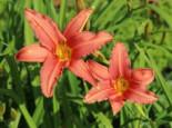 Taglilie 'Pink Damask', Hemerocallis x cultorum 'Pink Damask', Topfware