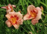 Taglilie 'Strawberry Candy', Hemerocallis x cultorum 'Strawberry Candy', Topfware