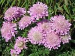 Tauben-Skabiose 'Pink Mist', Scabiosa columbaria 'Pink Mist', Topfware