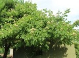 Tausendblütenstrauch / Bienenbaum, 40-60 cm, Tetradium daniellii var. hupehensis / Euodia hupehensis, Containerware