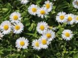 Tausendschön / Gewöhnliches Gänseblümchen, Bellis perennis, Topfware