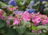Tellerhortensie Endless Summer ® 'Twist-n-Shout' (Rosa), 20-30 cm, Hydrangea macrophylla Endless Summer ® 'Twist-n-Shout' ® (Rosa), Containerware