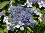 Kleinwüchsige Tellerhortensie 'Bluebird', 30-40 cm, Hydrangea serrata 'Bluebird', Containerware