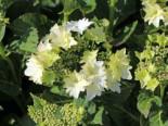 Tellerhortensie Royalty ® Collection 'Koria', 30-40 cm, Hydrangea macrophylla Royalty ® Collection 'Koria', Containerware