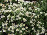 Teppich-Aster 'Snowflurry', Aster ericoides var. pansus 'Snowflurry', Topfware