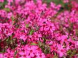 Teppich-Flammenblume 'Atropurpurea', Phlox subulata 'Atropurpurea', Topfware