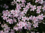 Teppich-Flammenblume 'Candy Stripes', Phlox subulata 'Candy Stripes', Containerware