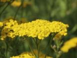 Teppich-Garbe 'Aurea', Achillea tomentosa 'Aurea', Topfware