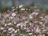 Teppich-Schleierkraut 'Rosea', Gypsophila repens 'Rosea', Topfware