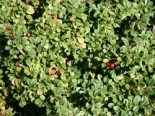 Cotoneaster microphylus (dammeri) 'Queen of Carpet'