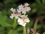 Teppichverbene 'Summer Pearls', Phyla nodiflora 'Summer Pearls', Topfware