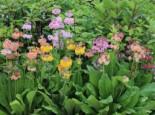 Terrakotta Etagen-Primel, Primula x bullesiana, Topfware