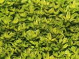 Thymian 'Aureus', Thymus pulegioides 'Aureus', Topfware