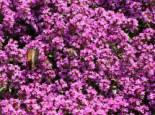 Thymian 'Purple Beauty', Thymus praecox 'Purple Beauty', Topfware