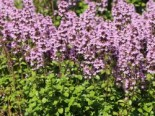 Thymian 'Tabor', Thymus pulegioides 'Tabor', Topfware
