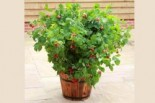 Topf-Himbeere / Zwerg-Himbeere 'Ruby Beauty' ®, 20-30 cm, Rubus idaeus 'Ruby Beauty' ®, Containerware