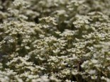 Trauben Steinbrech, Saxifraga paniculata subsp. paniculata, Topfware