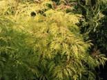 Traubenholunder 'Golden Lace' ®, 40-60 cm, Sambucus racemosa 'Golden Lace' ®, Containerware