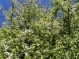 Traubenkirsche (frühe), 60-100 cm, Prunus padus, Wurzelware