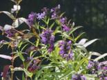 Traubige Katzenminze, Nepeta sibirica, Topfware