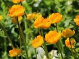 Trollblume 'Orange Globe', Trollius x cultorum 'Orange Globe', Topfware
