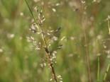 Tropfengras 'Wisconsin', Sporobolus heterolepis 'Wisconsin', Topfware