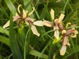 Übelriechende Schwertlilie / Gladwin / Gladdon, Iris foetidissima, Topfware