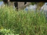 Ufer-Segge, Carex riparia, Topfware