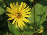 Verwachsenblättrige Becherpflanze, Silphium perfoliatum, Topfware