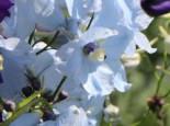 Verzweigter Rittersporn 'Ballkleid', Delphinium x belladonna 'Ballkleid', Topfware