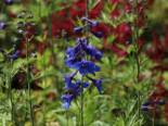 Verzweigter Rittersporn 'Bellamosum', Delphinium x belladonna 'Bellamosum', Topfware