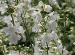 Verzweigter Rittersporn 'Casa Blanca', Delphinium x belladonna 'Casa Blanca', Topfware