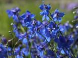 Verzweigter Rittersporn 'Piccolo', Delphinium x belladonna 'Piccolo', Topfware