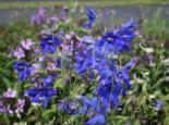 Verzweigter Rittersporn 'Völkerfrieden', Delphinium x belladonna 'Völkerfrieden', Topfware
