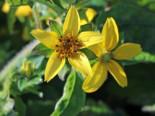Virginia-Goldkörbchen, Chrysogonum virginianum, Topfware